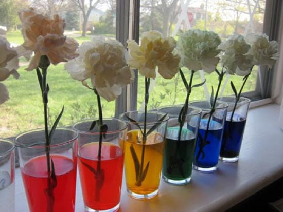 Carnations food coloring rainbow flowers by kiwico for How to dye flowers using food coloring